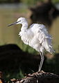 Little Egret, Egretta garzetta at Rietvlei Nature Reserve, Gauteng, South Africa (22789029015).jpg