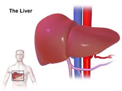 الكبد liver 250px-Liver_%28organ%29