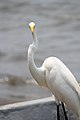 Livingston, egret (15958730565).jpg