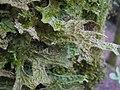 Lobaria macaronesica C. Cornejo & Scheid 407123.jpg