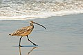 Long-billed curlew (6785302656).jpg