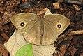Long-branded Bushrown Mycalesis visala UP by Dr. Raju Kasambe DSCN2274 (2).jpg