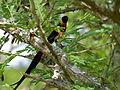 Long-tailed Paradise Whydah (Vidua paradisea) male (12616429365).jpg