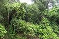 Lonicera japonica kz2.jpg