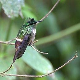 Lophornis chalybeus 1