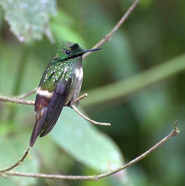 Ficheiro:Lophornis chalybeus 1.jpg