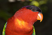 A green parrot with a red head and underside, a black forehead, and a violet nape