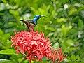 Loten's Sunbird Male (Cinnyris lotenius) (19005355120).jpg