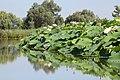 Loto e fiori di loto. - panoramio.jpg