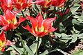 Lyon - Jardins suspendus de Perrache - Tulipes.JPG