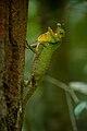 Lyriocephalus scutatus.jpg