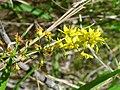 Lysimachia terrestris 4-jgreenlee (5097917808).jpg