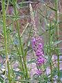 Lythrum salicaria var. tomentosum 2009-7-26 Inflorescencia RioFresnedas ValledeAlcudia.jpg