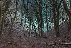 Møns Klint beech trees in gorge 2015-04-01-4864.jpg