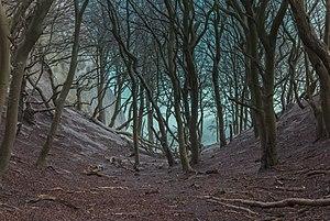 Møns Klint beech trees in gorge 2015-04-01-4864.jpg