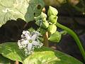 Mướp tây, Mướp hổ-Trichosanthes anguina-.jpg