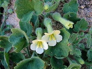 Mabrya - Mabrya acerifolia