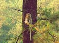 Macaca fascicularis (Crab-eating Macaque) at Djuanda Forest Park, Indonesia.jpg