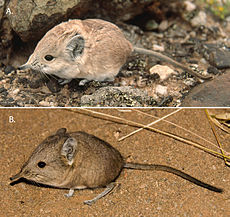 Macroscelides from Namibia and South Africa.jpg