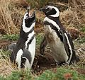 Magellanic Penguins at Otway Sound, Chile (5521312980).jpg