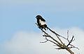 Magpie Shrike (Corvinella melanoleuca) (16660824652).jpg