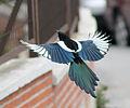 Magpie in Madrid (Spain) 69.jpg
