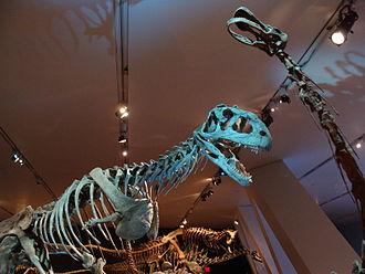 Rapetosaurus - Mounted Majungasaurus and Rapetosaurus