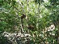 Makis hiding in the branches (2852530090).jpg