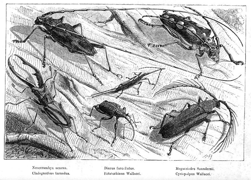 Malay Archipelago Beetles.jpg