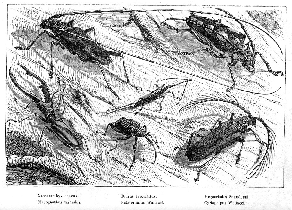 Malay Archipelago Beetles