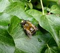 Male ,Hairy-footed Flower-bee. Anthophora plumipes. - Flickr - gailhampshire.jpg