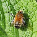 Male hairy-footed flower bee (Anthophora plumipes), Sandy, Bedfordshire (16870981377).jpg