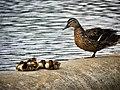 Mallard and ducklings washington dc.jpg