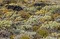 Malpaís vegetation - Los Cancajos.jpg