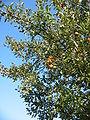 Malus domestica 20041012 2592.jpg