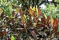 Malvaviscus arboreus 1zz.jpg