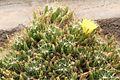 Mammillaria longimamma pm.jpg