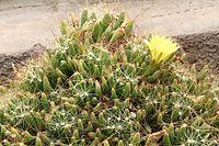 Mammillaria longimamma pm