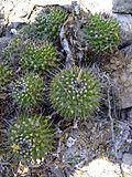 Mammillaria polyedra (5758799259).jpg
