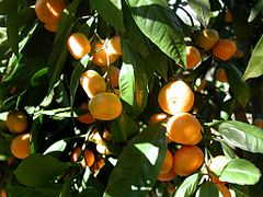 Mandarin tree closeup.JPG