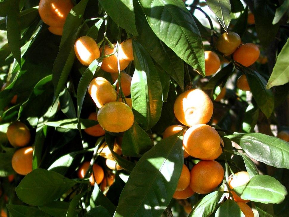 Mandarin tree closeup