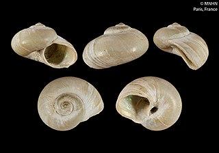 <i>Margarella antarctica</i> Species of gastropod