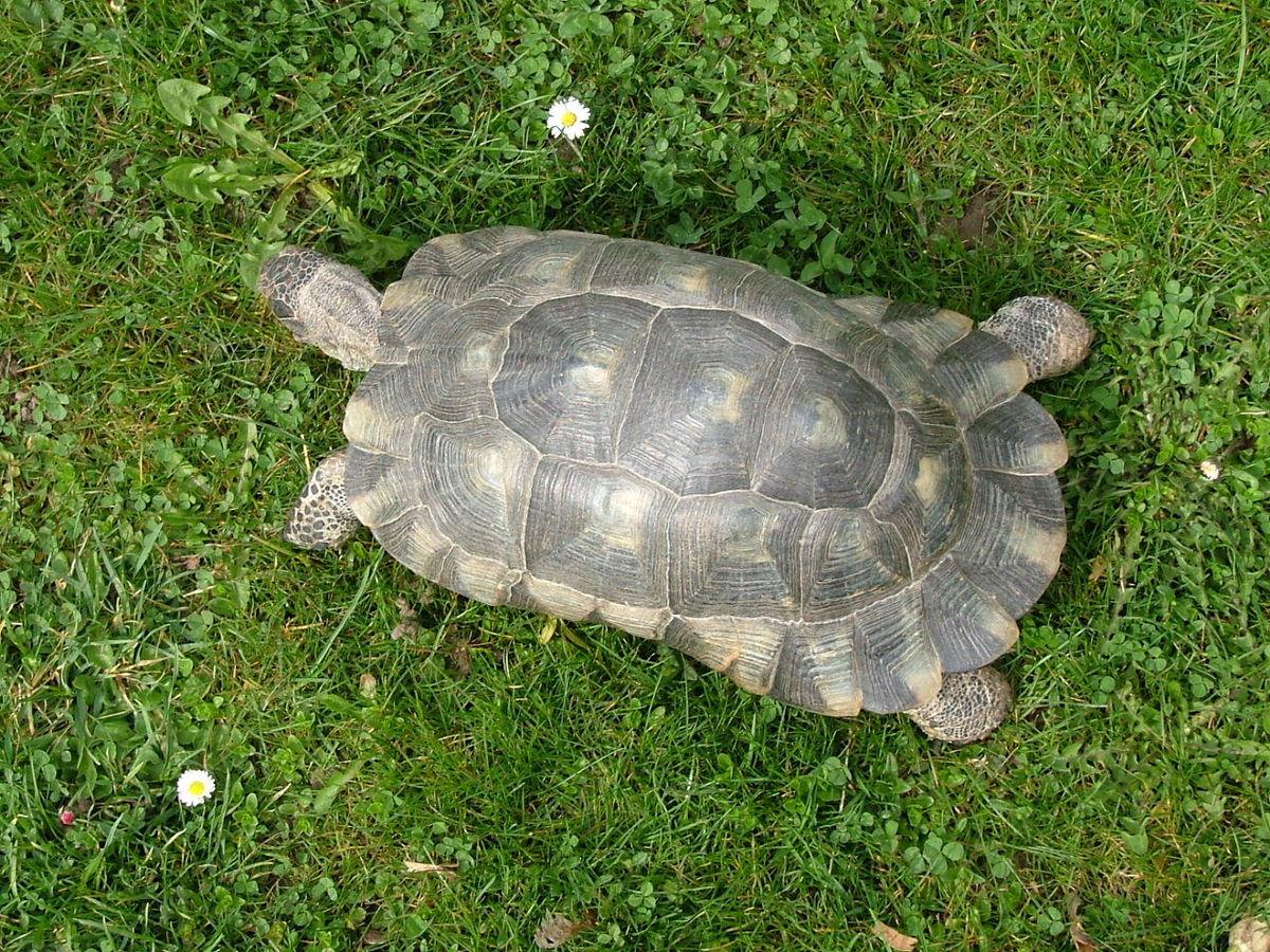 Marginated tortoise wikipedia publicscrutiny Gallery