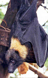 A bat with black fur viewed in profile from the back. It has a bright yellow mantle of fur on the back of its neck.