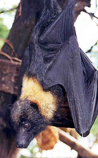 Contrasting yellow mantle of the Mariana fruit bat (Pteropus mariannus) Mariana Fruit Bat.jpg