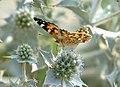 Mariposa de los cardos - papallona dels cards - Painted Lady - Vanessa cardui 03 (230416142).jpg