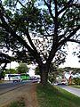 Markanter Baum in Cali 02.jpg