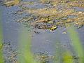 Marsh frog (14193978160).jpg