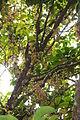 Mass fruiting of Baccaurea motleyana (Phyllanthaceae).JPG