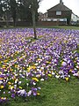 Massed crocus planting on the A2 Canterbury Road (2) - geograph.org.uk - 1760660.jpg